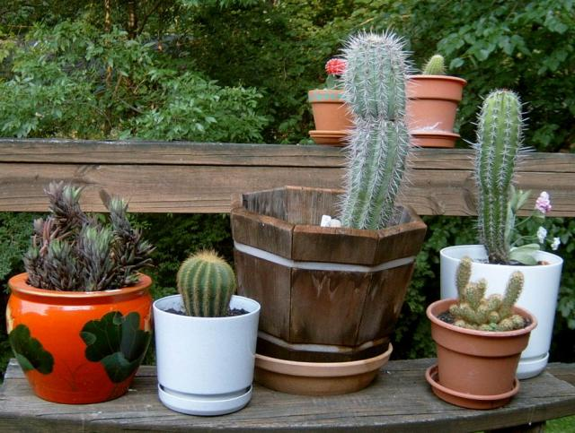 All my cactuses 2006-07-10