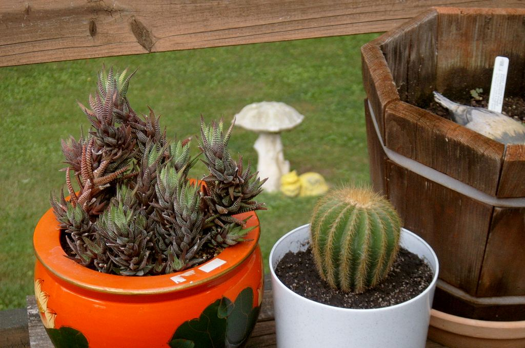 Yet more cacti