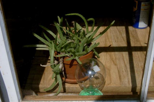 Aloe in Window